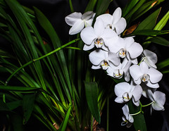 """White Orchids • <a style=""""font-size:0.8em;"""" href=""""https://www.flickr.com/photos/21540187@N07/5339610212/"""" target=""""_blank"""">View on Flickr</a>"""