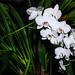 "White Orchids • <a style=""font-size:0.8em;"" href=""https://www.flickr.com/photos/21540187@N07/5339610212/"" target=""_blank"">View on Flickr</a>"