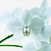 "White Orchids • <a style=""font-size:0.8em;"" href=""https://www.flickr.com/photos/21540187@N07/5339611942/"" target=""_blank"">View on Flickr</a>"
