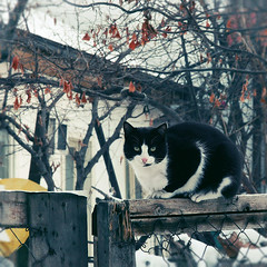 Gatekeeper (Tanjica Perovic) Tags: winter pet house look rural cat fence fur photography eyes feline sitting fotograf photographer village branches whiskers stare getty gettyimages felis moggy blackandwhitecat crossbreed  felissilvestris srpski fotografija  nonpedigree   tanjicaperovicphotography availableforlicensingongettyimages