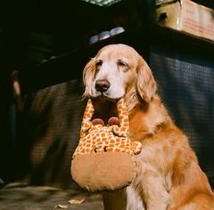 [フリー画像] 動物, 哺乳類, イヌ科, 犬・イヌ, ゴールデン・レトリバー, 201101161700