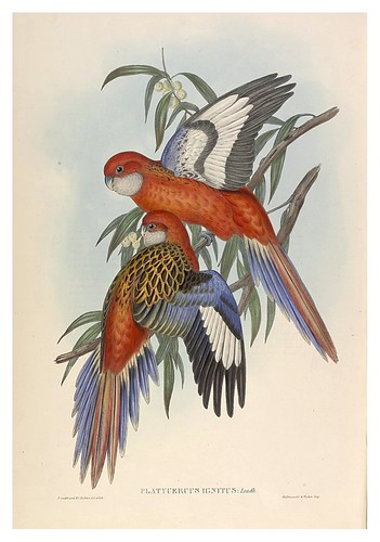 032-Periquitos Fiery-The Birds of Australia  1848-John Gould- National Library of Australia Digital Collections