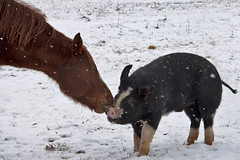Have you kissed a pig today? (*Corrie*) Tags: winter buddies antics farmanimals southwesternontario welshpony berkshirepig canoneos50d corriewhite