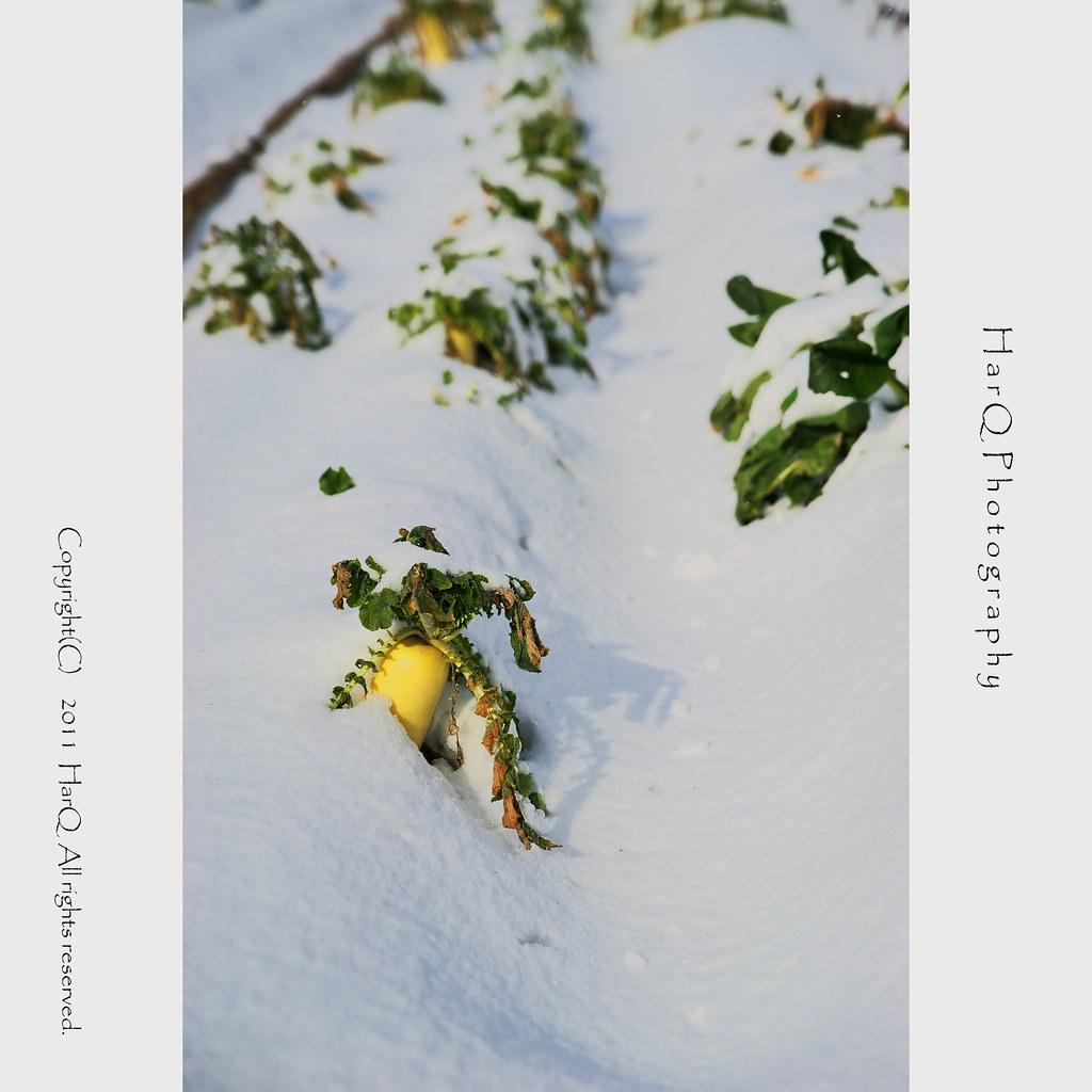 Winter Radish *