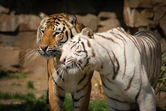 Tigers (Paul Mansfield) Tags: white love tiger buschgardens florida2009pauls