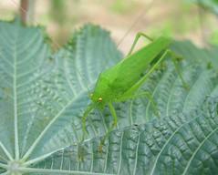 Grasshopper (Kumaravel) Tags: macro green closeup canon insect dof cropped grasshopper kumaravel canonixus95is canondigitalixus95is shensfarm