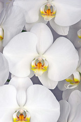 White Phalaenopsis Orchid (Paul in Japan) Tags: white orchid flower phalaenopsis selected v3 sogo yukidan