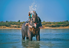 Elephant spraying water to people during riding (marozn) Tags: animal asian people bathing man blowing woman care boy chitwan elephant elephants environment fauna friendsfriend fun green grey heavy herbivore indian jungle large lmammal national nepal outdoor parent parental park playing powerful river safari strong tall thailand tropical water wet wild wilderness wildlife young zoo ride tourist adventure spray exotic