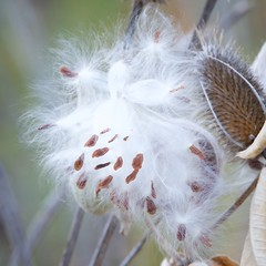 Soft as Teasel (The Good Brat) Tags: co us wild native plant seed pod teasel