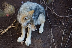 Young Timber Wolf (Jeannot7) Tags: timberwolf graywolf wolf parcomega montebello qubec