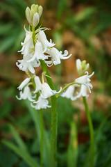 Spring in Hagley Park, Christchurch, NZ (sandybrinsdon) Tags: flowerwhitedepthoffield hagley park spring flickr hagleypark macro
