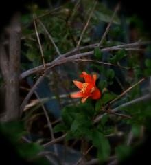 Pomegranate Flower at Dawn - Side View (Chic Bee) Tags: sideview predawn pomegranate flower heritagepomegranatevariety dark todarktofocus tucson arizona usa americansouthwest