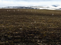 Svalbard Reindeer (danielfoster437) Tags: abenteuer arktis bergwandern eis klte wintereis adventure arctic arcticreindeer avontuur coldweather dewinter ice koude landscape mountain nature noordpool outdoors reindeer sne spitsbergen svalbard svalbardreindeer terrain wilderness winter wintercold winterijs