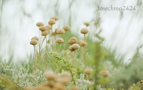 Florecillas secas.