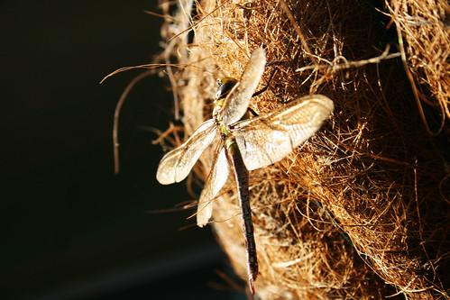 sunrise dragonfly
