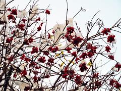 neige et baies rouges (alainalele) Tags: france la hiver internet creative commons bienvenue et lorraine 54 licence moselle presse romane bloggeur meurthe paternit froville