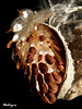 Common Milkweed - Asclépiade commune (monteregina) Tags: macro seasons milkweed asclépiades filaments seeds semences wind vent monteregina québec canada milkweedfloss fleursdeschamps wildflowers silk soie nature macroplant fleursmortes faded beauty shriveled plantesséchées details closeup deadflowers driedplants plantae flore flora fillframe natur center commonsilkweed follicules montérégie wildcotton butterflyflower fruits akènes autumn automne fall akene glossy textures graines floss seedheads herbaceous silkweed silkyswallowwort virgeniasilkweed plantes plants herbacées gousse seedcase brun brown lasoiedamérique planteindigène herbeàouate cottonweed