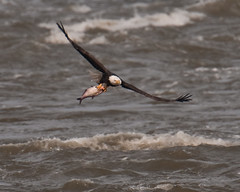 Rough Water ( Craig Leaper) Tags: nature birds photo baldeagle eagles bif conowingo dailynaturetnc11