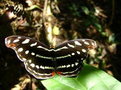 Maqueta biodiversa (bichocu) Tags: butterfly selva bolivia jungle mariposa madidi