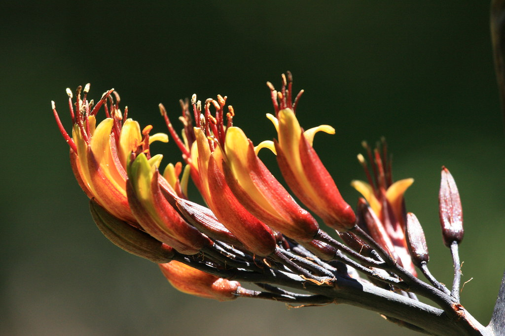 Harakeke flowers - Phormium tenax