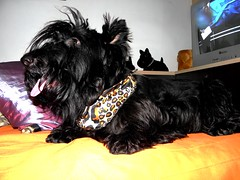 Kya (Maz Parchen) Tags: pet cachorro ces animais kya scottishterrier animaisdeestimao mazparchen