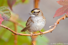 White-throated Sparrow (phil.jeffrey) Tags: nyc bird nature centralpark wildlife avian whitethroatedsparrow zonotrichiaalbicollis passerine wwwcatharuscom