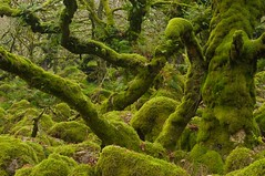 The Viper's Nest (Duncan George) Tags: trees tree green forest moss nikon ghost haunted creepy devon moors mystical ghosts druid moor lichens dartmoor enchanted hellhounds thedevil moorland westcountry druids copse wistmanswood twobridges dartmoornationalpark southwestengland fairystory siteofspecialscientificinterest d700 dwarfoaktrees stuntedoaks mosscoveredboulders westdartriver ncrsite pedunculateoaktrees