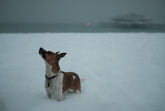 Skitters, Snow and the West Pier (Jane Dallaway) Tags: uk winter england dog snow nature sussex nikon brighton seasons events places event westpier portfolio d80 skitters uksnow snowonbeach jackrussellterrierx