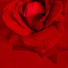 Red On Red (Leonardo Martins) Tags: red brazil macro nature fleur rose closeup brasil riodejaneiro wonderful rouge lumix bresil flor rosa brasilien panasonic vermelho exotic tropical g2 quintaflower vermelha makro paixão brésil supershot fantasticflower anawesomeshot