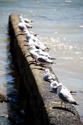 akaroa seagulls