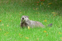 "Aug06_WoodchuckLooksUp • <a style=""font-size:0.8em;"" href=""http://www.flickr.com/photos/30765416@N06/5248068276/"" target=""_blank"">View on Flickr</a>"