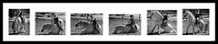 Andalusian & Rider sequence (Tiffany Gill) Tags: horse nature animals wildlife equestrian andalusian equines whitehorses purarazaespaola purespanishhorse httptagillphotocom