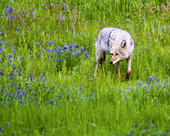 Coyote hunting in a flowered Lamar Valley meadow (gr8dnes) Tags: coyote usa animals america us unitedstates wildlife unitedstatesofamerica canine yellowstonenationalpark northamerica yellowstone wyoming mammals wy lamarvalley yellowstonepark canislatrans undomesticatedanimals