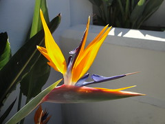 Strelitzia in Hollywood