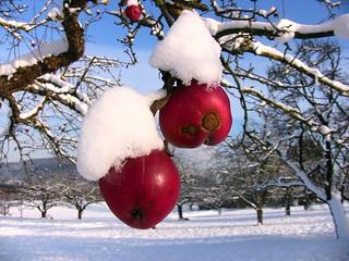 Winter 2010 - Rotbäckchen mit Schneehäubchen, 385 v