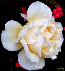 Pale pink rose (pat.bluey) Tags: rose australia raindrops newsouthwales 1001nights mygarden palepink supershot mixedflowers flickraward goldstaraward excellentsflowers natureselegantshots mimamorflowers flickrflorescloseupmacros thebestofmimamorsgroups greatshotss exquisiteflowersflowersarrebaeutifulmacroselsalvadormixedflowersfaunaandfloraoftheworld
