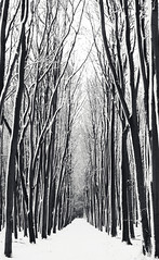 Parallel trees in the snow (Tom_Hughes_87) Tags: camera sky bw white snow black tree canon lens britain thomas great surrey tall guildford parallel f28 2470mm 40d tomhughes hughesvisuals