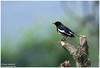 Thinking of U .. ... (Naseer Ommer) Tags: robin canon aves magpierobin birdsofkerala naseerommer canon300mm concordians canoneos7d discoverplanetinternational