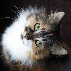 Cally (hehaden) Tags: white animal cat square kitty tortoiseshell tortie longhaired fantasticnature kissablekat bestofcats kittyschoice flickrdiamond catmoments