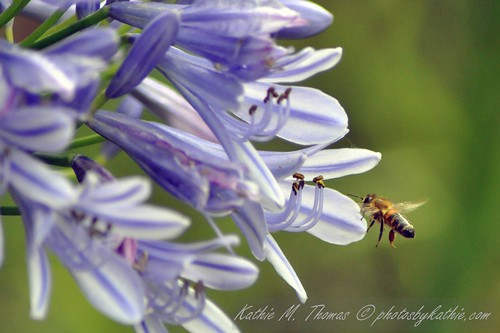 The bee and Agapanthus