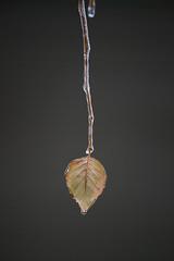 lone leaf (JGo9) Tags: leaficewetdewmoisturewinterstanford kykentuckylincolncountynaturecanont1ieosrebel