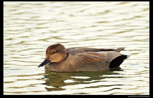 Sleepy Gadwall