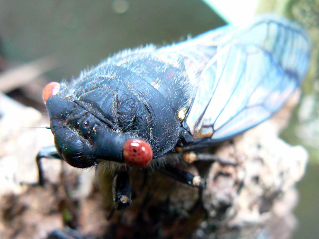 Cicada, newly emerged from shell