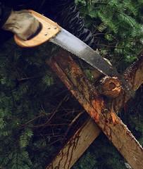 xmas prep (Blue Algae Creative) Tags: seattle christmas xmas winter man tree pine saw december sawing