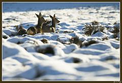 Reen in de sneeeuw (Gijs de Kruijf) Tags: sneeuw nederland hilversum heide ree capreoluscapreolus reen