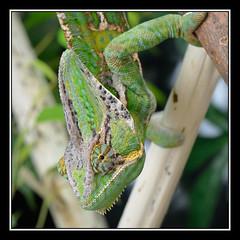 Arnie The Chameleon (Full Moon Images) Tags: pet lizard captive chameleon arnie