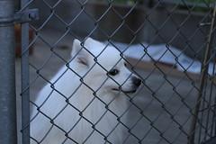谷中 白い犬
