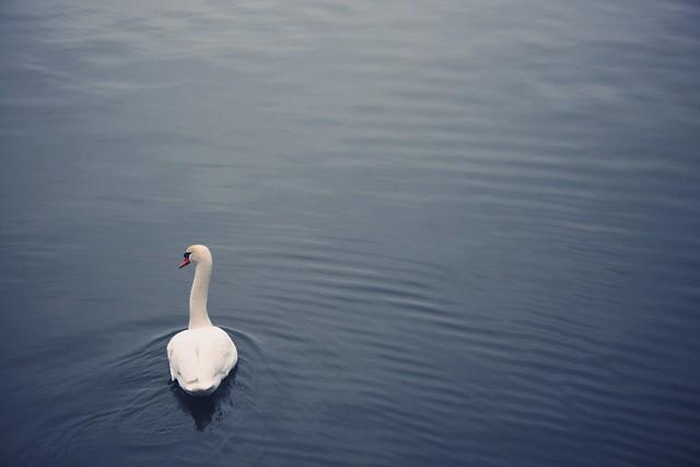 A Christmas Swan