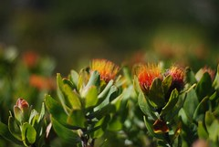 Orange in the Mountain (.donelle) Tags: plants mountain southafrica naturereserve kleinmond inthemountain kogelbergbiosphere
