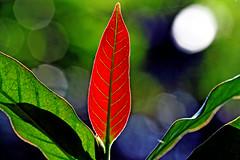 Tales of mango (xeno(x)) Tags: red white macro green nature canon garden leaf asia mango 2008 xeno 400d